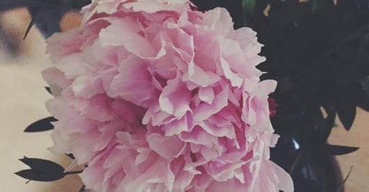 Fleurs naturelles Pivoine