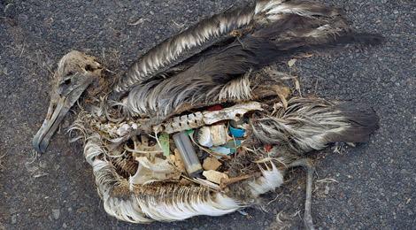 oiseau_mort_dechet_plastique